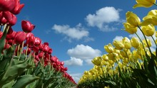 Low Angle View Of Tulips Growing On Field Against Sky
