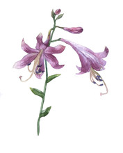 Branch Of Purple Hosta Flower Isolated On White. Hosta Ventricosa Minor, Asparagaceae Family. Watercolor Painting.