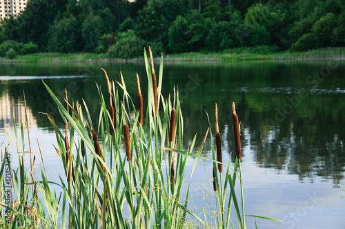Foto  Broadleaf cattail (Typha latifolia) on the shore of the pond