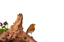 Red Robin, Ethiculus Rubecula, On Driftwood With Mealworms, Isolated