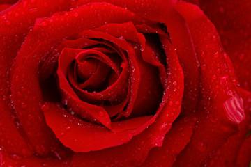 Obraz Beautiful red rose closeup.