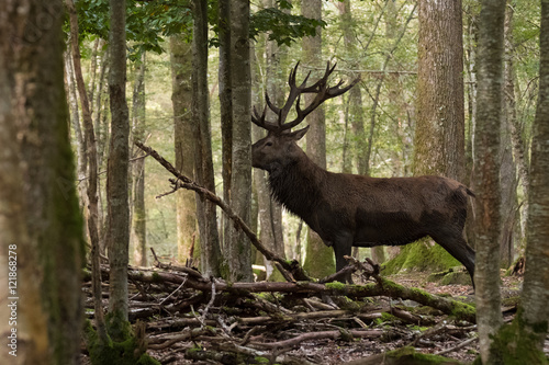 Poster Cerf cerf cervidé brame chasse mammifère sauvage nature forêt bois