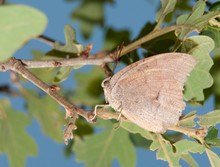 Anaea Andria, Goatweed Leafwing Butterfly Resting On An Oak Twig