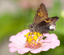 Hoary Edge Butterfly On Pink Z...