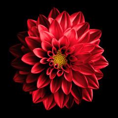 Nadrealni tamno kromirani crveni cvijet dahlia makro izoliran na crnoj