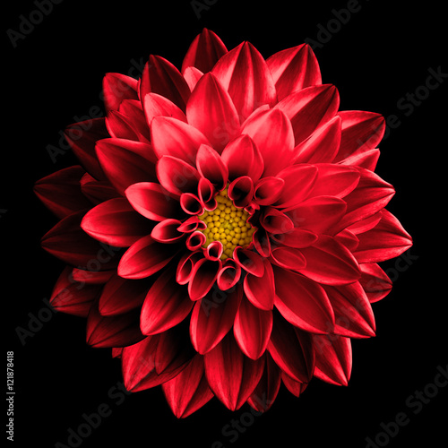 Slika na platnu Surreal dark chrome red flower dahlia macro isolated on black