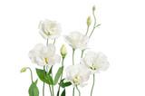 Beautiful eustoma flowers isolated on white background
