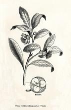 Tea Plant (Camellia Sinensis) ...