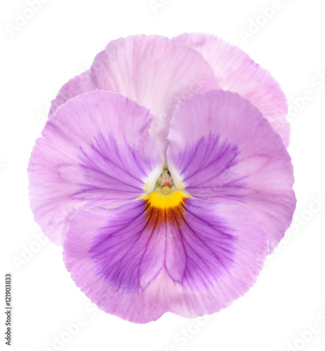 Poster Pansies purple pansy