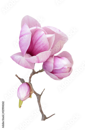 Foto op Plexiglas Magnolia pink magnolia flower