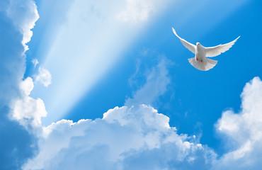 Biały gołąb latający w promieniach słońca wśród chmur