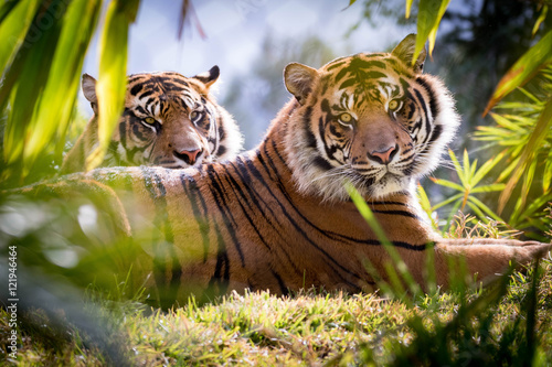 Photo  Tiger Brothers