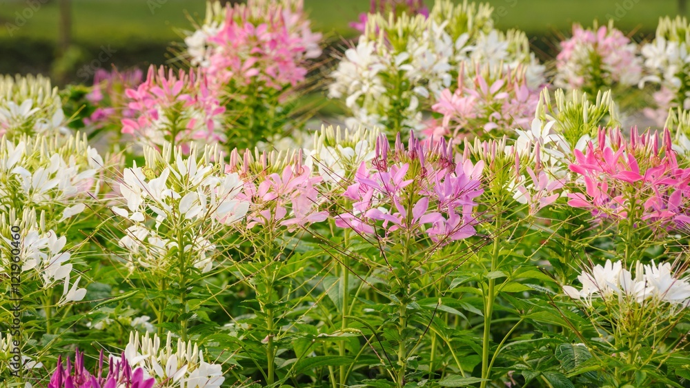 Beautiful pink and white spider flower in the garden.
