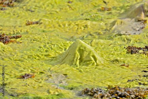 Fotografie, Obraz  Green seaweeds, wrack