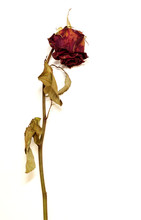 A Single Faded Rose White Background