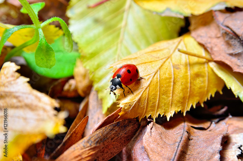 Ladybug on the fallen yellow leaves in the fall. Insects in the wild nature.