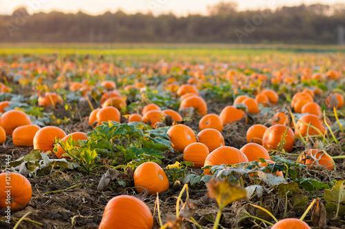 Leinwand Poster Pumpkin patch