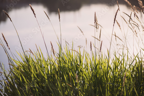 Fotografie, Obraz  grass sedge on the background of the autumn Lake with copyspace
