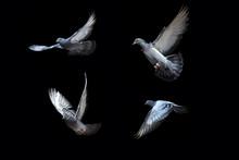 Flying Pigeons On Black Background
