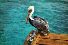 A Pelican Bird With A Large Beak In Bonaire