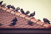 Group Of Pigeons On Old Red Ro...