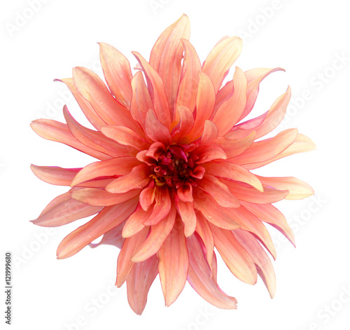 Deurstickers Dahlia orange dahlia