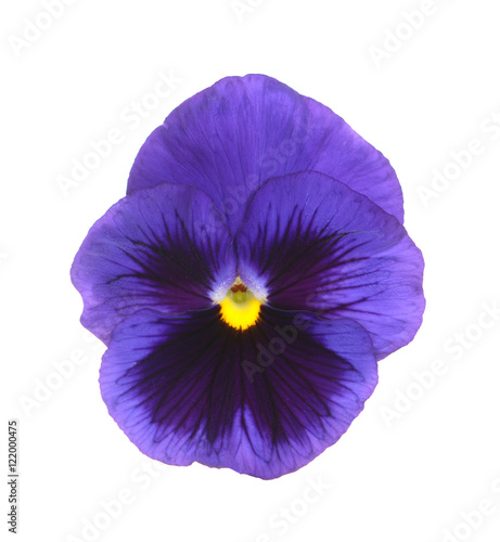 Papiers peints Pansies purple pansy
