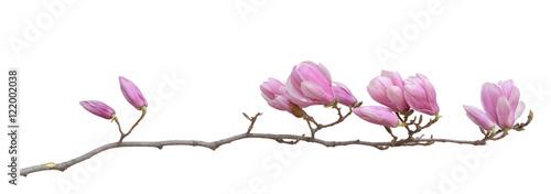 Poster Magnolia magnolia flower