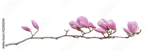 Garden Poster Magnolia magnolia flower