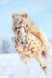 Appaloosa horse runs gallop on the meadow in winter - 122005203