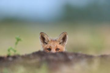 Fototapeta Red fox kit. Red fox puppy. Juvenile red fox. Red fox pup. Little fox.