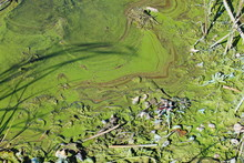 Green Algae On The Water Surfa...