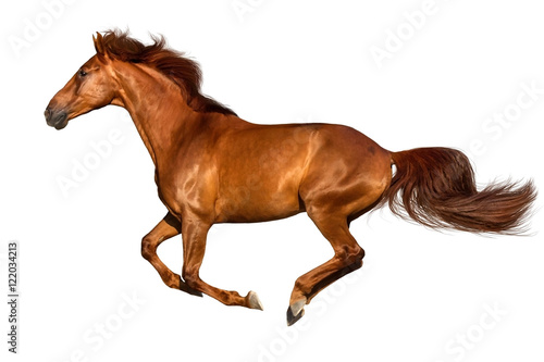 Foto op Canvas Paarden Red horse run gallop isolated on white background