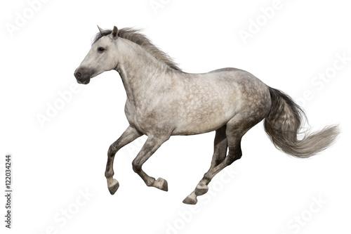 Photo  White horse run gallop isolated on white backround