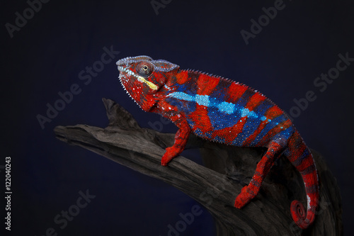 Foto op Canvas Panter Pantherchamäleon (Furcifer pardalis)