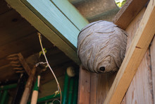 Empty Wasp's Nest Stuck To The Wooden Door Of The Shed