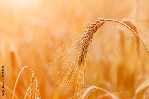 Poster Amsterdam Golden wheat ears or rye close-up. A fresh crop of rye. Field of