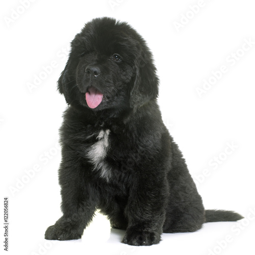 puppy newfoundland dog Canvas-taulu