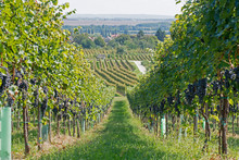Vineyards On A Sunny Day In Au...