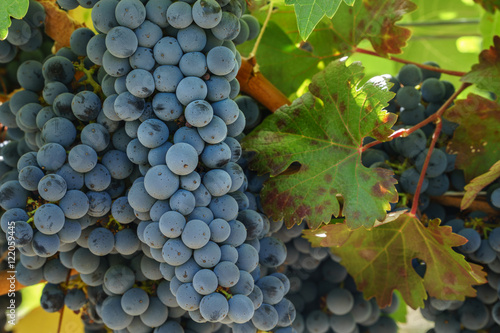 Fotografie, Obraz  Close up of Napa Cabernet Sauvignon grapes and autumn leaves