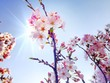 Apple Tree Blossoms Against Clear Sky
