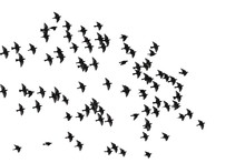 Flock Of Birds Isolated On Whi...