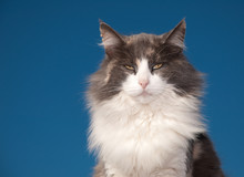 Diluted Calico Cat With An Attitude Against Clear Blue Sky