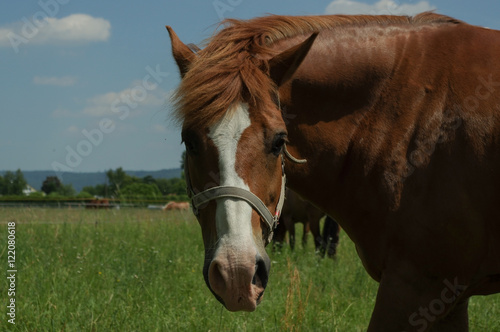 Canvas Prints Horses brown horse on the pasture, close up part of body
