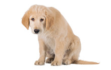 Miserable Golden Retriever Puppy Sitting Front View Isolated