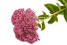 Inflorescence Of Flowers Stonecrop Close-up, Lat. Sedum Spectabi