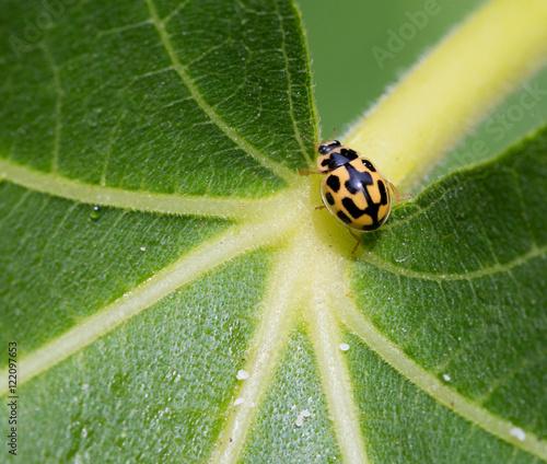 Macrophotographie d'un insecte: Coccinelle à damier (Propylea quatuordecimpunctata)
