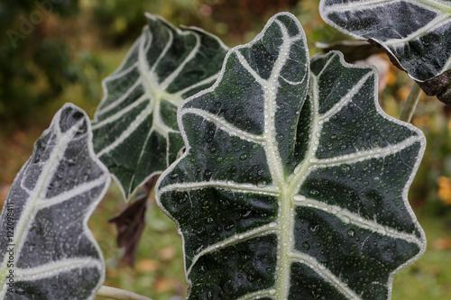 duze-zielone-liscie-z-deszczem-spadaja-rano-alocasia