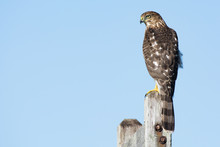 A Cooper's Hawk (Accipiter Cooperii) Perched On A Post In The Northeast, US