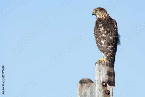 Valokuva A Cooper's hawk (Accipiter cooperii) perched on a post in the Northeast, US